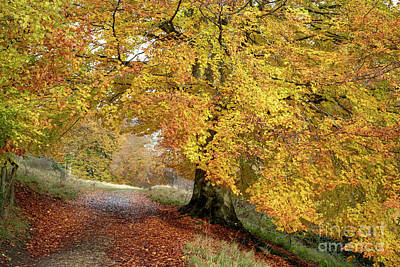 Photograph - Autumn Beech Walk by Tim Gainey
