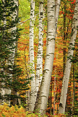 Photograph - Autumn Birch by Jeff Sinon