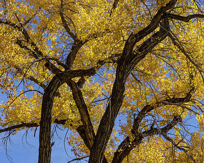 Photograph - Autumn Cottonwood Trees I Color by David Gordon