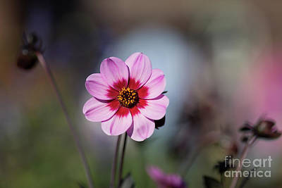 Photograph - Autumn Dahlia by Eva Lechner