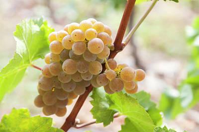 Photograph - Autumn Dainty. Taste Of Grapes by Jenny Rainbow
