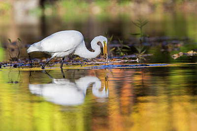 Photograph - Autumn Egret by Mircea Costina Photography