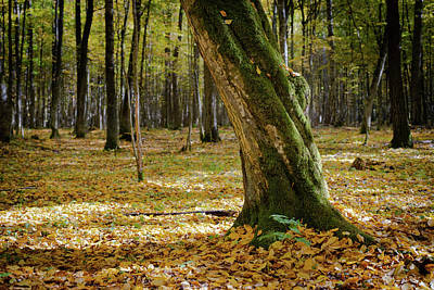 Photograph - Autumn in Bialowieza Forest, Poland by Robert Pastryk