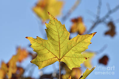 Photograph - Autumn Leaf by George Atsametakis