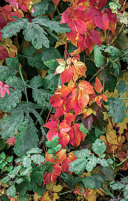 Photograph - Autumn Vines One by Wim Lanclus