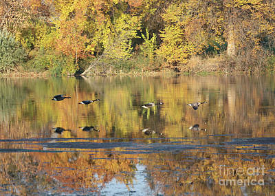 Photograph - Autumn Moment With Flying Geese by Carol Groenen