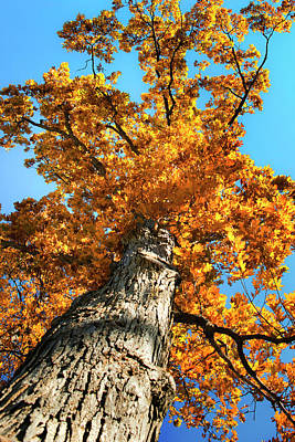 Photograph - Autumn Oak Tree by Christina Rollo