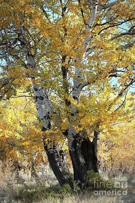 Photograph - Autumn Poplar Tree by Carol Groenen