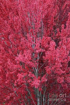 Photograph - Autumn Red by Carol Groenen