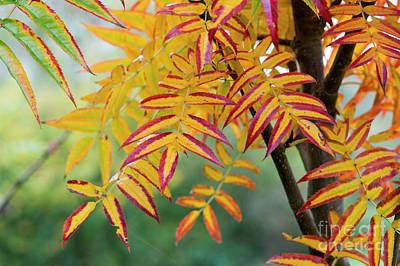 Photograph - Autumn Rowan Olympic Flame Foliage by Tim Gainey
