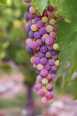 Photograph - Autumn Temptation. Grapes Royal by Jenny Rainbow