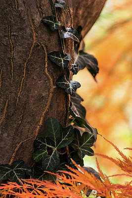Photograph - Autumn Vines by Stewart Helberg