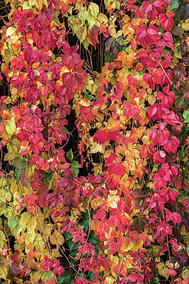 Photograph - Autumn Vines Three by Wim Lanclus