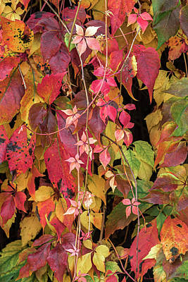 Photograph - Autumn Vines Two by Wim Lanclus
