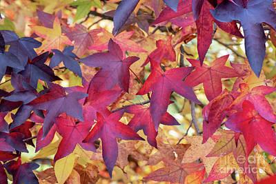 Photograph - Autumnal Liquidambar Tree Leaves by Tim Gainey