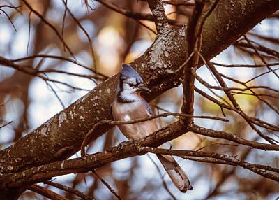 Photograph - Autumns Blue Jay by Bob Orsillo