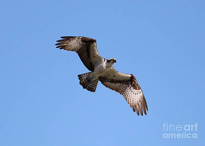 Photograph - Awesome Osprey In Blue Sky by Carol Groenen