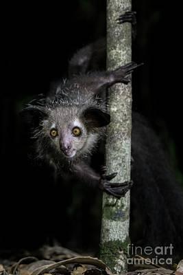 Wildlife Decor Lemur Gift Aye-Aye Zucchetto Skullcap Animal Portrait Catholic Cap Aye Aye ACEO Painting Original Art