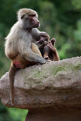 Animal Family Photograph - Baboon by Andrew Dernie