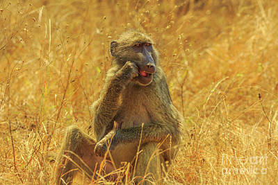 Photograph - Baboon Eating Africa by Benny Marty