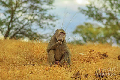 Photograph - Baboon Eating Kruger by Benny Marty