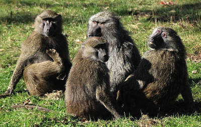 Photograph - Baboon Family Posing by Doc Braham
