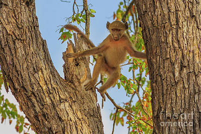 Photograph - Baboon Jump On A Tree by Benny Marty