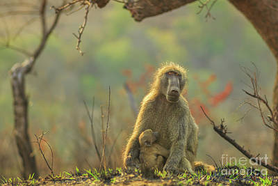 Photograph - Baboon Mum With Baby by Benny Marty