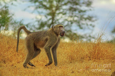 Photograph - Baboon South Africa by Benny Marty