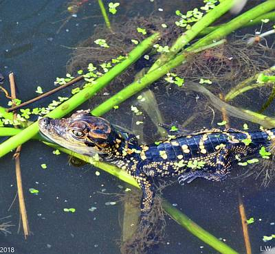 Photograph - Baby Alligator by Lisa Wooten
