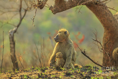 Photograph - Baby Baboon With Mather by Benny Marty