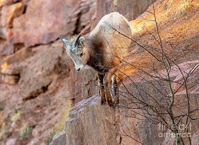 Photograph - Baby Bighorn Playing On The Rocks by Steve Krull