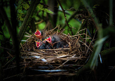 Photograph - Baby Birds by Chrystal Mimbs