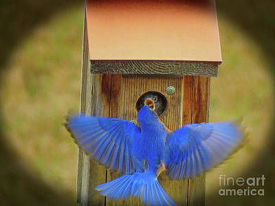 Photograph - Baby Bluebird Feeding Time by Sue Melvin