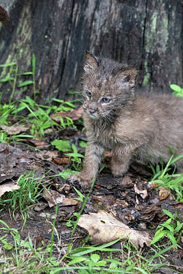 Photograph - Baby Bobcat Striking A Pose by Dan Friend