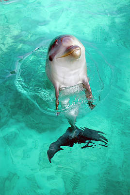 Antilles Photograph - Baby Dolphin by Nature/uig