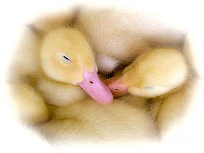 Photograph - Baby Ducks by Randy J Heath
