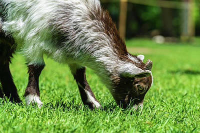 Photograph - Baby Goat by Dave Matchett