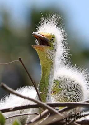 Photograph - Baby Great Egret In Sunshine by Carol Groenen