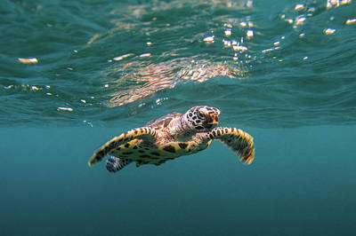 Photograph - Baby Hawksbill Sea Turtle Swims With by Sirachai Arunrugstichai