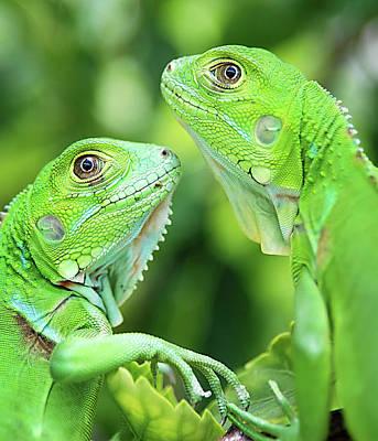 Green Wall Art - Photograph - Baby Iguanas by Patti Sullivan Schmidt
