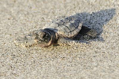 Photograph - Baby Loggerhead Sea Turtle by Bradford Martin