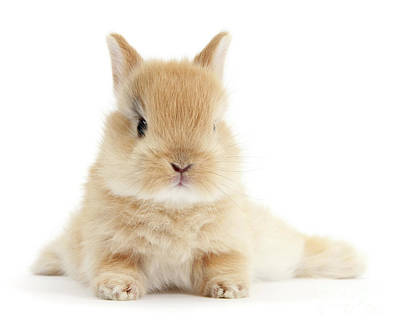 Photograph - Baby Love Bunny by Warren Photographic