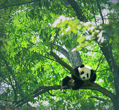 Baby Panda Resting On A Tree Art Print by Mediaproduction