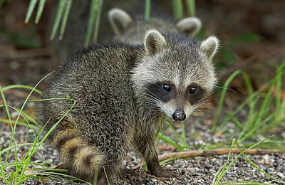 Photograph - Baby Raccoon by Deborah Benoit