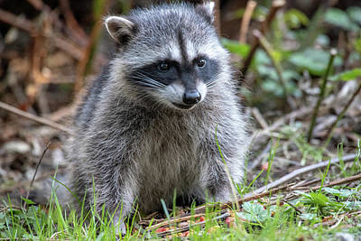Photograph - Baby Raccoon by Ross G Strachan