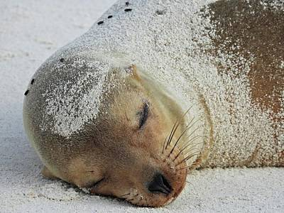 Animals Royalty-Free and Rights-Managed Images - Baby Sea Lion by Jennifer Wheatley Wolf