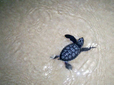 Photograph - Baby Turtle First Swim by 2010 Copyright Matthew T Rader