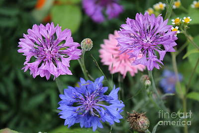 Photograph - Bachelor Button Flowers by Julie Kindt