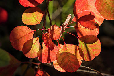 Photograph - Back-lit Smoketree by Robert Potts